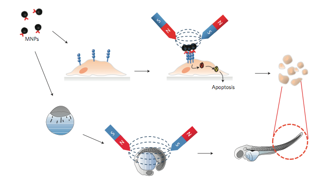 A magnetic switch for apoptosis in vitro and in vivo in the zebrafish